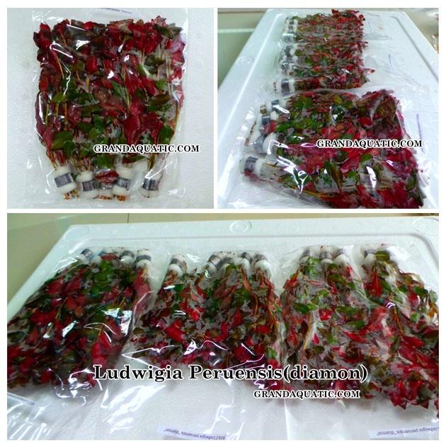 Ludwigia Peruensis Diamon Live Aquatic Plants Wholesale / Thailand ...