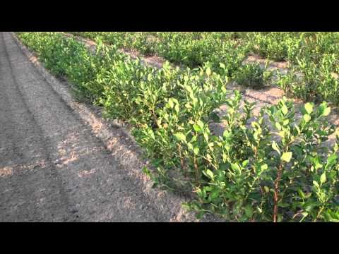 Grow Blueberry Bushes - DiMeo Blueberry Farms & Mature Blueberry Bushes Gardening