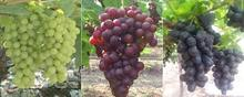 Fresh Egyptian Grape