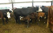 Heifer Holstein cattle for milk