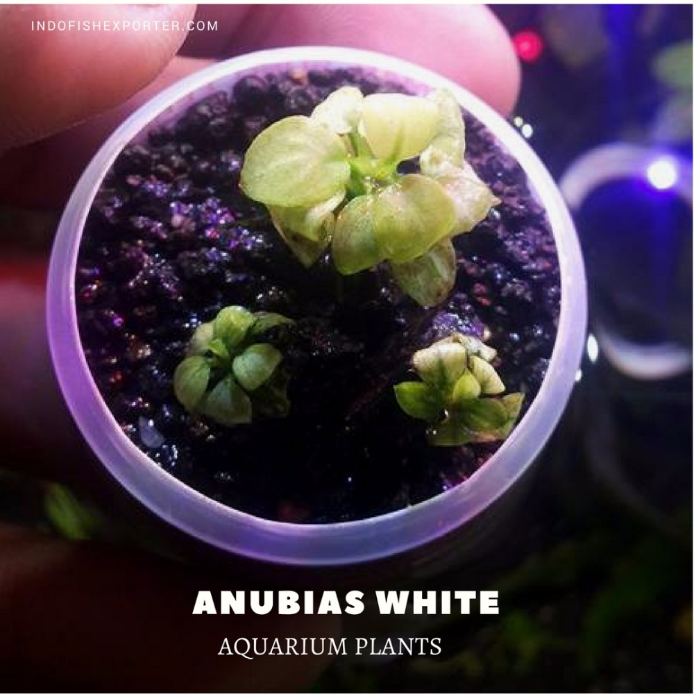 Anubias White (Live Aquarium Plants)