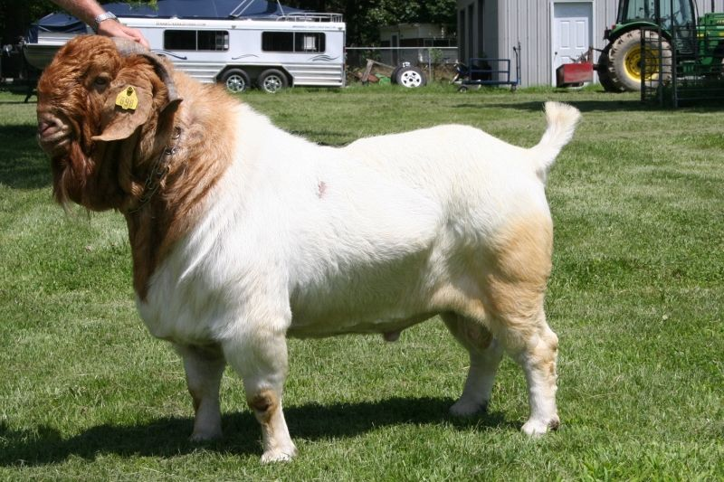 Pure Live Boer Goats Saanen Goats Askanian Goats View Boer Goat Price Boer Goats Product Details From Toscat Co Ltd On Alibaba Com