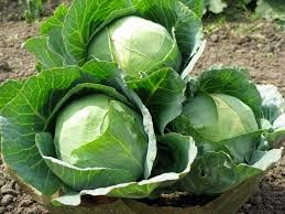 fresh cabbage exporter in India
