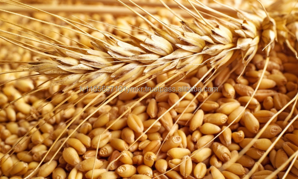 competitive price Wheat Grains/ Bulk scale sale