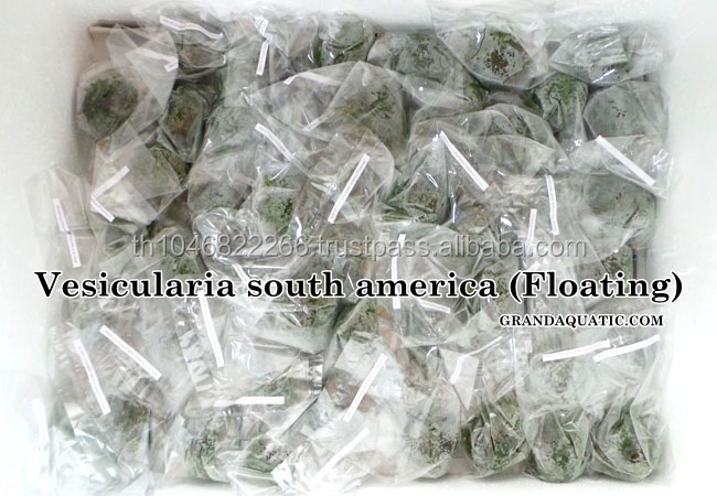 Vesicularia South America / Live Aquatic Plants For Sale And ...