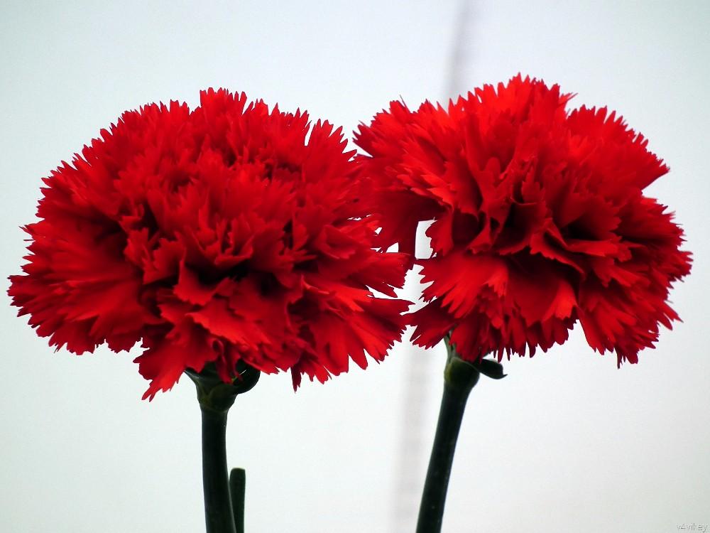 Etwas Neues genug Cut Nelke Blumen/frische Blumen/frische Nelke Blumen!!! - Buy &QE_31
