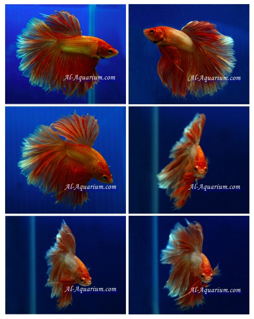Halfmoon betta fish farm for sale and export ornamental for Ornamental pond fish for sale