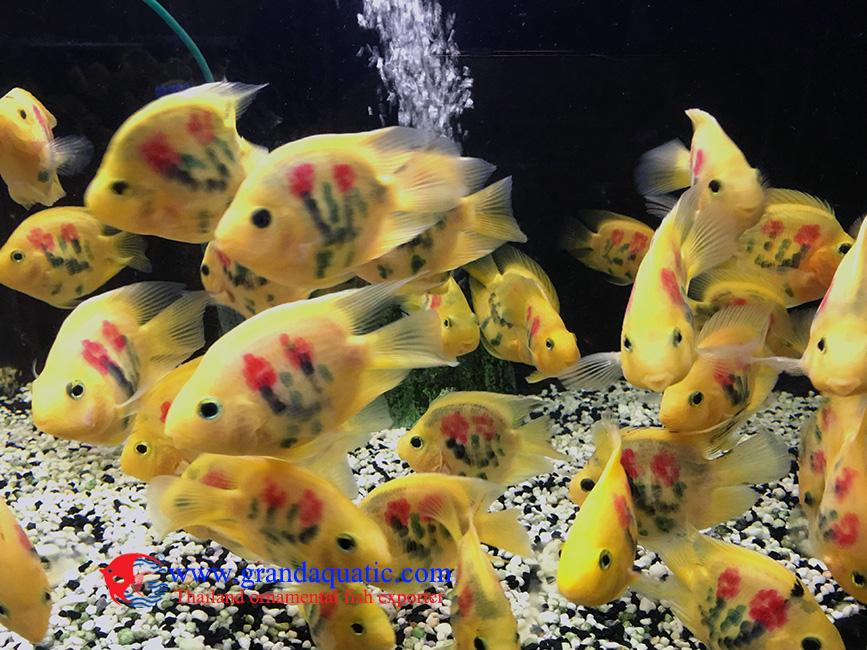 Tatuaje loro cichid peces de acuario de peces ornamentales for Peces ornamentales acuarios