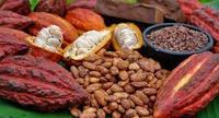 Roasted cocoa