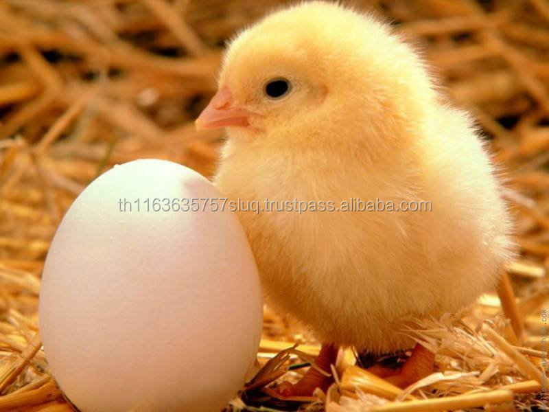 Day Old Broiler Layer Chicks and Fertile Hatching Eggs for sale