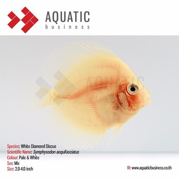 White Diamond Discus Aquarium Fish Tropical Fish Buy Albino Discus