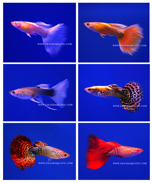 Guppy Fish / Ornamental Fish Exporter