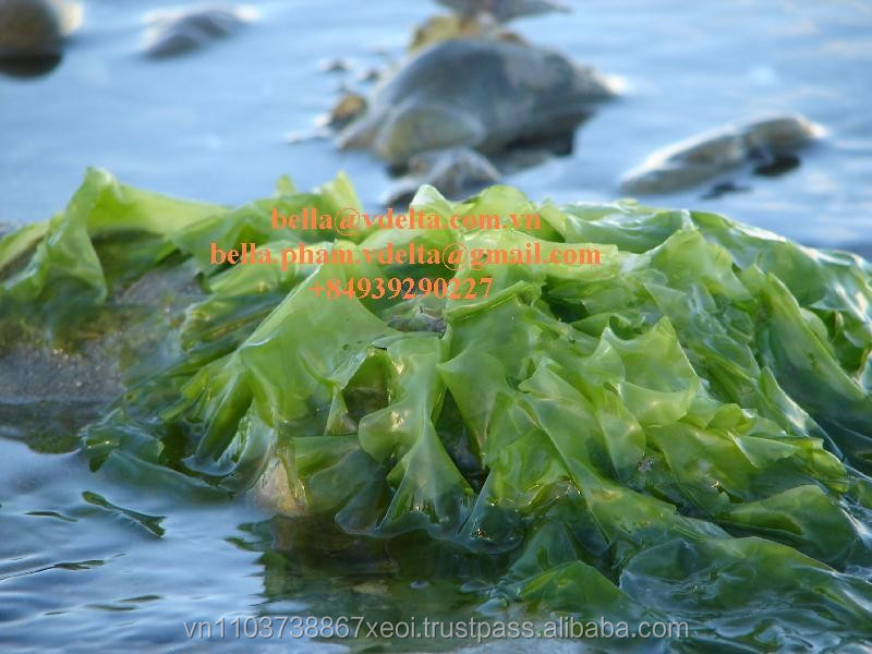Ulva Lactuca Ulvaceae Powder Buy Seaweed Meal For Animal