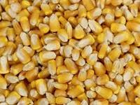 Dry Maize/Dried Yellow Corn/Dried Sweet Corn Best Price Competitive Price