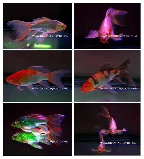 Butterfly Koi Fish For Sale / Aquarium Fish Export