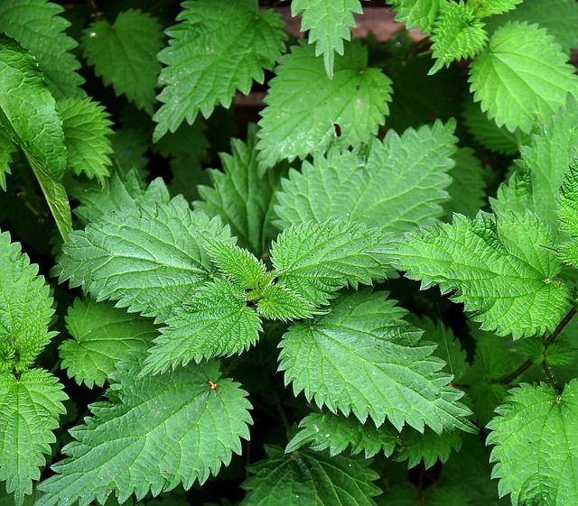 High Quality Nettle Leaf For Health