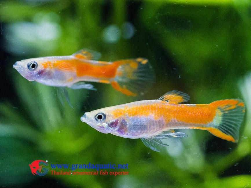 Endler Guppy Fish / Guppy Fish For Sale - Buy Fancy
