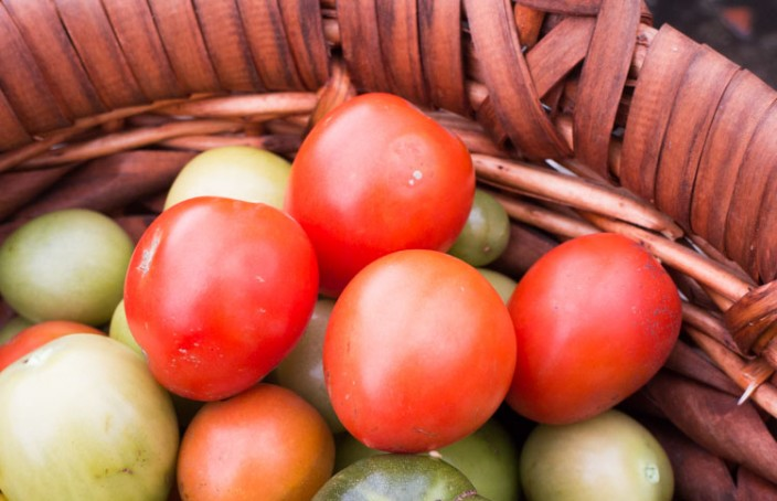 Red Harvested Tomatoes for affordable price