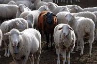 Top quality Live Sheep Goats and Cattle