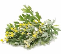Common Wormwood Tea Herbal Tea Drink Herbal Slimming Tea Shiffa ...