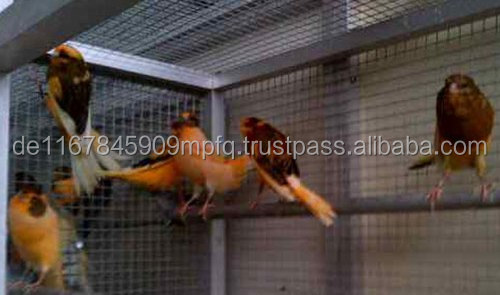 Live Canary Birds,Yorkshire Canary Birds and Lancashire Canary Birds