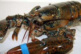 Live Canadian Lobsters
