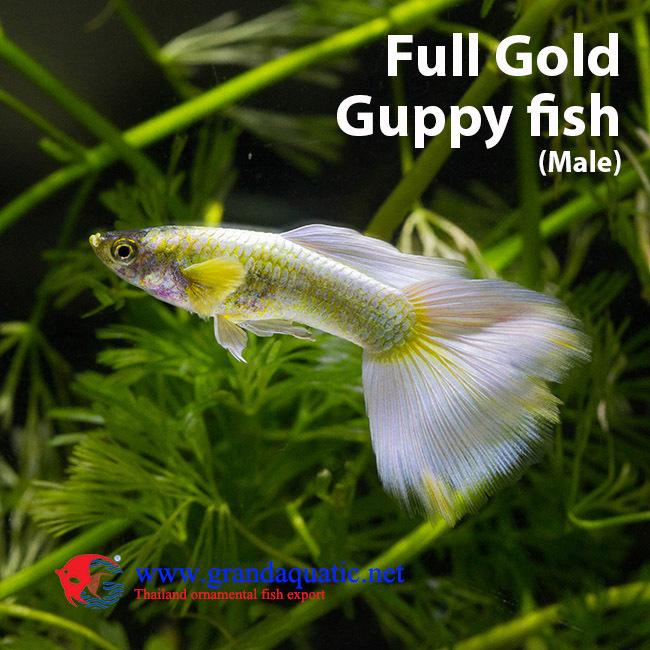 Guppy Fish Farm For Sale/ Aquarium Fish