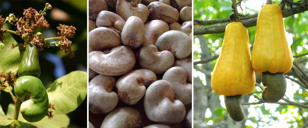 First Grab Raw Cashew Nuts in Africa