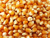 100% Clean Yellow Corn(Maize), Pop Corn, white corn!!!
