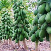 RED GLORY PAW PAW SEEDS - MARUTI AGRI SEEDS (INDIA)