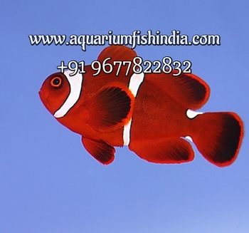 Marine Aquarium Fish Imported Marine Fish Live Marine Stock