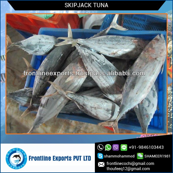 Safe to Consume Frozen Skipjack Canned Tuna Fish
