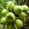 FRESH GREEN YOUNG COCONUT + 84 963818434 whatsapp