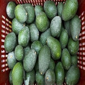 New crop 2018 FRESH AVOCADO WHOLESALE BEST PRICE!!!