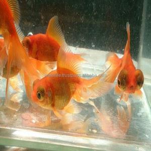 Freshwater Live Aquarium Fish Gold Fish Malaysia Exporter