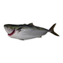Exceptionally Sea Fresh Well Fatted, Top Quality Yellowtail Sea Food Produced in Kagoshima