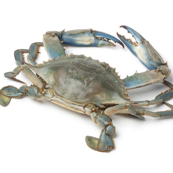 Blue Crab See Crab - Buy Live Crab Blue Crab,Bangladeshi Crab Mod Crab 100%  Exportable Mod Crab,Frozen Blue Crab Product on Alibaba com