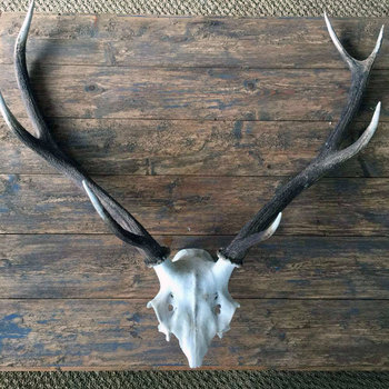 Antlers For Sale >> Naturally Shed Whole Red Deer Antlers Buy Naturally Shed Whole Red Deer Antlers Product On Alibaba Com