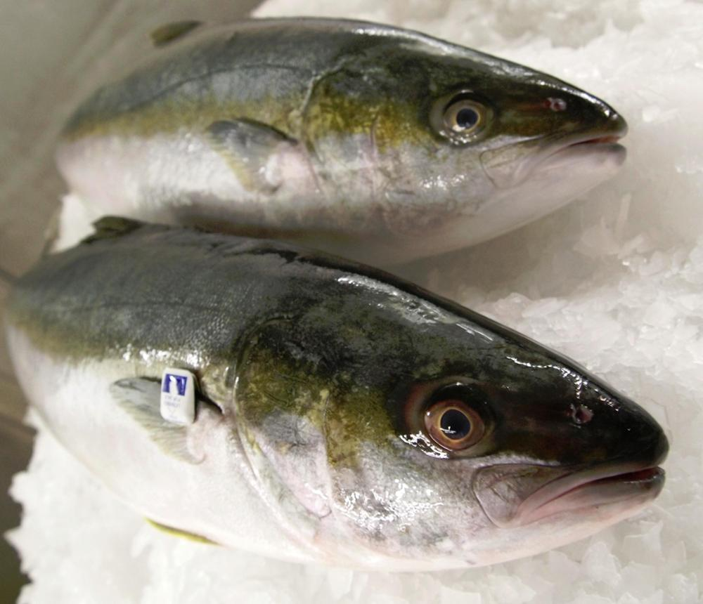 Fresh Frozen Yellowtail Fish - Buy Fresh Chilled Fish Product on Alibaba com