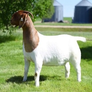 LIVE MATURE KALAHARI RED GOATS, BOER GOAT AND SAANEM GOATS FOR SALE