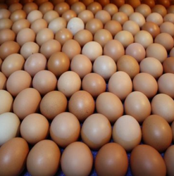 Top Quality Organic Fresh Chicken Table Eggs Fertilized Hatching Eggs, White and Brown eggs