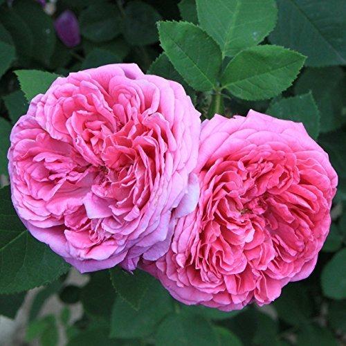 Cheap rose bush seeds find rose bush seeds deals on line at alibaba get quotations zennixplus heirloom pink damask rose bush flower seeds mightylinksfo