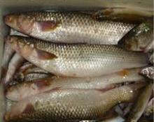 Frozen Grey Mullet Fish/Red Mullet Whole Fish/Blue Spot Grey Mullet