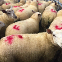 Fat Tail Awassi Sheep /Live & Healthy Fat Tail Awassi Sheep for sale