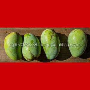fresh mango ready export to Kuwait