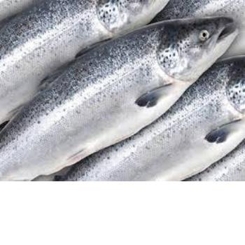 Best frozen seafood frozen salmon fish wholesale price for Best frozen fish