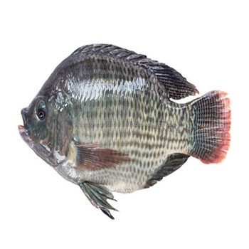 Sweet Water Grade A Frozen Gutted Tilapia Fish For Fillet