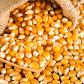 Best Quality Animal Feed Maize Corn From Thailand