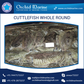 Famous Sea Food Supplier Of Cuttlefish Whole Round With Intact Packaging -  Buy Famous Sea Food Supplier Of Cuttlefish Whole Round,Cuttlefish Whole