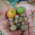 Breadnut (Kamansi) Ramon Nut,Maya nuts สำหรับขาย ......